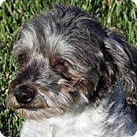 Adopt A Pet :: Domino - La Costa, CA