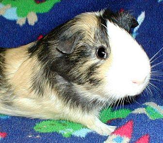Guinea Pig for adoption in Steger, Illinois - BoJangles