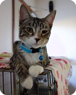 Domestic Shorthair Kitten for adoption in Orland, California - Mitts