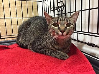 Domestic Shorthair Cat for adoption in Oviedo, Florida - Tabitha