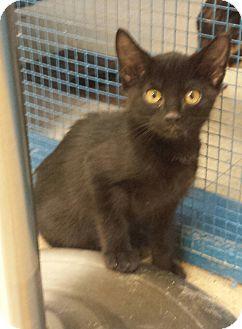 Domestic Shorthair Kitten for adoption in Holden, Missouri - Moonlight
