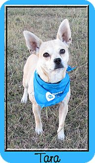 Dachshund/Corgi Mix Dog for adoption in Hillsboro, Texas - Tara
