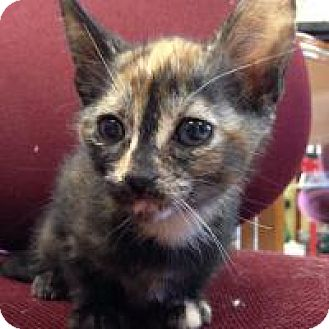 Domestic Mediumhair Cat for adoption in Port Richey, Florida - Piper