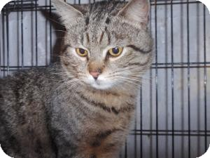 Domestic Shorthair Cat for adoption in East Brunswick, New Jersey - Max - ADOPTED