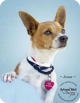 Rat Terrier Mix Dog for adoption in Phoenix, Arizona - Jesse