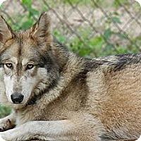 Adopt A Pet :: Wolfdog - Sky - Orlando, FL