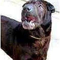 Adopt A Pet :: Bruno - Bethesda, MD