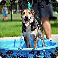 Adopt A Pet :: Blue - Fort Lauderdale, FL