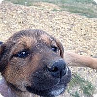 Adopt A Pet :: Coco - Westminster, CO