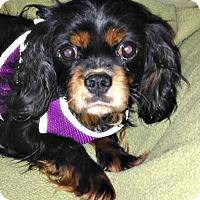 Adopt A Pet :: Elsa - Essex Junction, VT