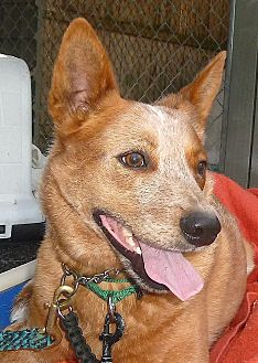Cattle Dog Dog for adoption in Carmel, New York - Sam