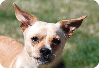 Chihuahua/Dachshund Mix Dog for adoption in Portola, California - Jackson