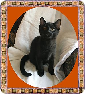 Domestic Shorthair Kitten for adoption in Mt. Prospect, Illinois - Jake