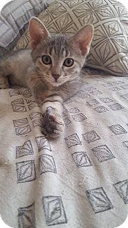 Domestic Shorthair Kitten for adoption in Chicago, Illinois - Jam