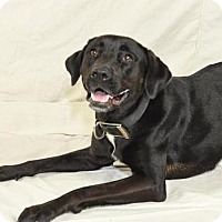Labrador Retriever/American Bulldog Mix Dog for adoption in Colorado Springs, Colorado - Mary Jane