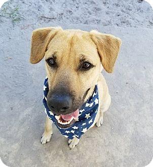 Black Mouth Cur/Shepherd (Unknown Type) Mix Dog for adoption in Umatilla, Florida - Obie