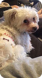 Maltese Dog for adoption in Mount Gretna, Pennsylvania - Fuzzy