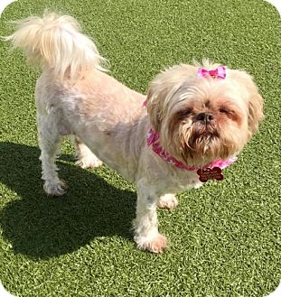 Shih Tzu Mix Dog for adoption in Whitestone, New York - Miss Cloud