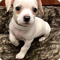 Adopt A Pet :: Pi - Weston, FL