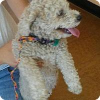 Adopt A Pet :: Gracie - Surprise, AZ