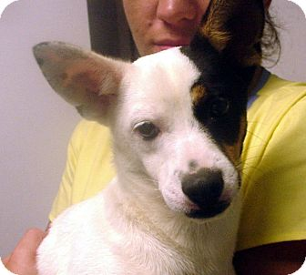 Jack Russell Terrier/Pug Mix Dog for adoption in Greencastle, North Carolina - Corky