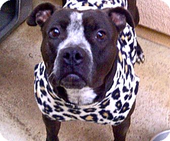 American Staffordshire Terrier/Boxer Mix Dog for adoption in Escondido, California - Minnie Mouse