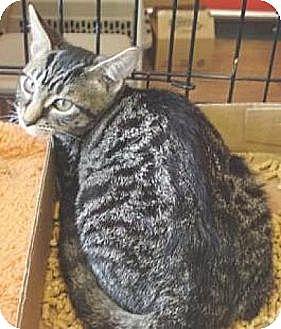 Domestic Shorthair Kitten for adoption in Miami, Florida - Bookbag