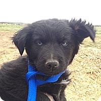 Adopt A Pet :: Mrs. Bear - Westminster, CO
