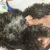 Adopt A Pet :: Ringo - Algonquin, IL