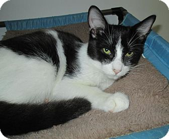 Domestic Shorthair Kitten for adoption in Norwich, New York - Marty
