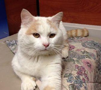 Domestic Mediumhair Cat for adoption in Marion, North Carolina - Wilbur