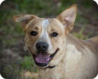 Labrador Retriever Mix Dog for adoption in Austin, Texas - Gator