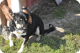Shepherd (Unknown Type) Mix Dog for adoption in Sedan, Kansas - Mozart