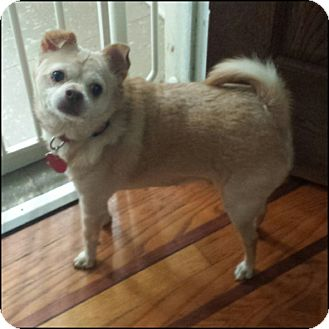 Chihuahua Dog for adoption in Oakland Gardens, New York - Cosmo Kramer