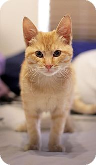 Domestic Shorthair Kitten for adoption in Los Angeles, California - Simba