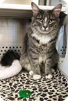 Maine Coon Cat for adoption in Arlington, Virginia - Kat- Large -Adoption Pending