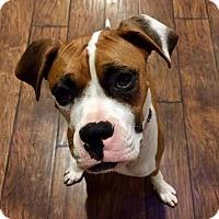 Adopt A Pet :: Lilly - Alameda, CA