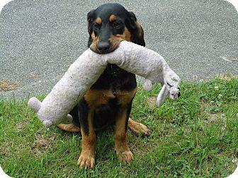 Hound (Unknown Type)/Bluetick Coonhound Mix Puppy for adoption in Hollis, Maine - Rosalie** PENDING ADOPTION**