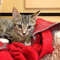 Domestic Shorthair Kitten for adoption in Miami, Florida - Michaelangelo