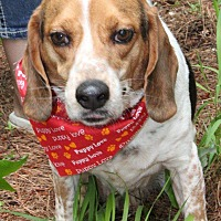 Hound (Unknown Type)/Beagle Mix Dog for adoption in Cameron, North Carolina - Buddy