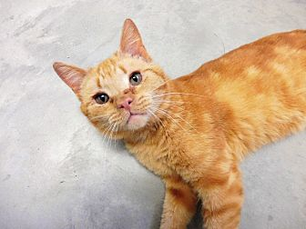 Domestic Shorthair Cat for adoption in Creston, British Columbia - Valour