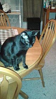 Domestic Shorthair Cat for adoption in Santa Fe, Texas - Sarah