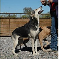 Rat Terrier/German Shepherd Dog Mix Dog for adoption in McKinney, Texas - Clooney