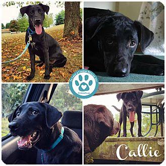 Labrador Retriever Mix Dog for adoption in Kimberton, Pennsylvania - Callie