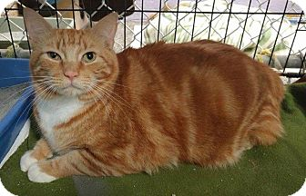 Domestic Shorthair Cat for adoption in Freeport, New York - Zeus