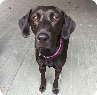 Labrador Retriever Mix Dog for adoption in Redmond, Washington - Bella