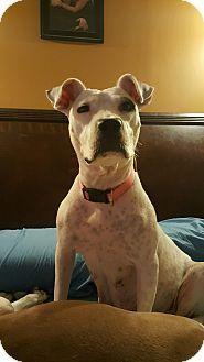 Staffordshire Bull Terrier/American Pit Bull Terrier Mix Dog for adoption in Staunton, Virginia - Italia