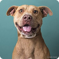 Pit Bull Terrier Dog for adoption in Anniston, Alabama - Junior