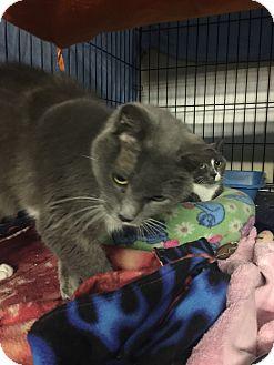 Domestic Shorthair Cat for adoption in Byron Center, Michigan - Dezi