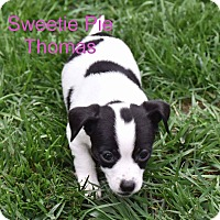 Adopt A Pet :: Sweetie  pie - Concord, CA